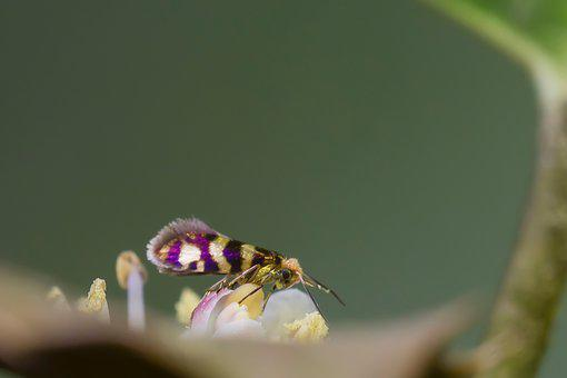 Wore Moth, Motte, Butterfly, Nectar Golden
