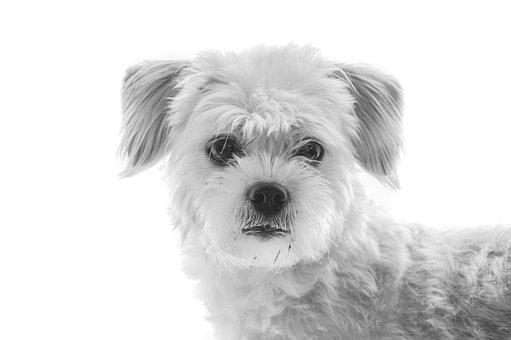 Dog, Wildlife Photography, Pet, Hybrid, Maltese