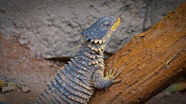 Giant Belt Tail, Lizard, Reptile, Cold Blooded Animals