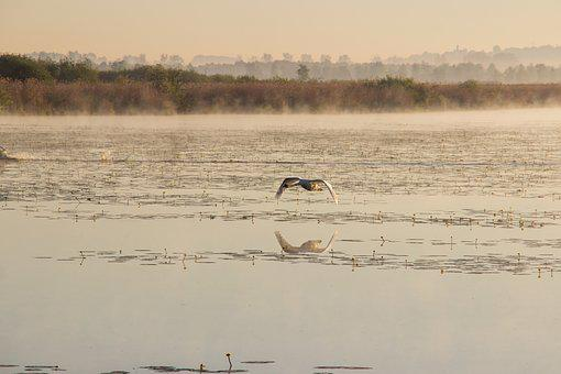 Swan, Flight, Mute Swan, Spring Lake, Morning Mist
