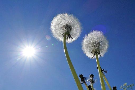 Dandelion, Milk Floor, Pointed Flower, Sky, Sun