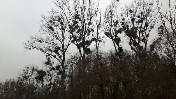 Mistletoe, Trees, Forest, Plant, Parasite