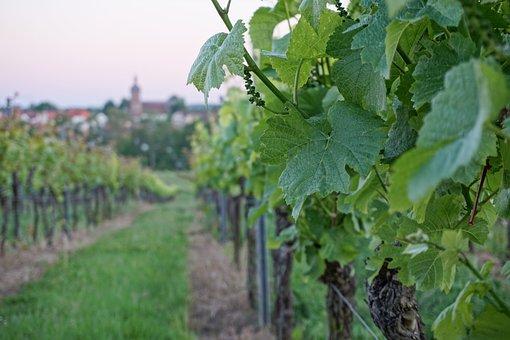Vine, Foliage, Green, Wine, Leaf, Close Up, Greenish