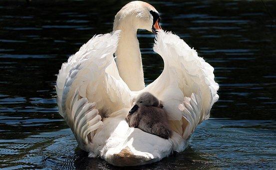 Swan, White, White Swan, Water, Lake, Bird, Water Bird