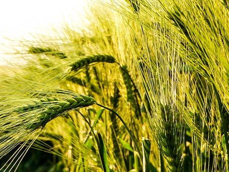 Wheat, Grain, By Chaitanya K, Wheatfield, Wheat Ear