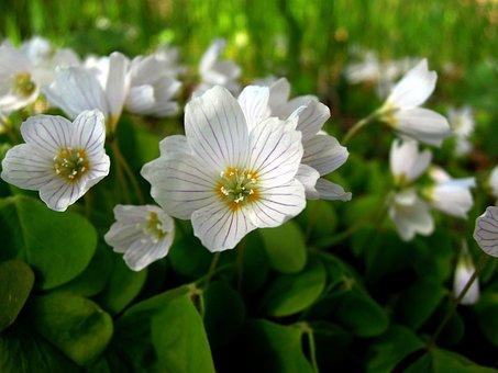 Oxalis, Flower, White, Flowers, Nature, Closeup
