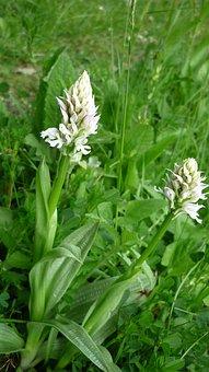 Orchis Tridentata, Albino, White-flowered Rarity
