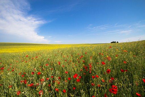 Flower, Oilseed Rape, Field, Yellow, Nature