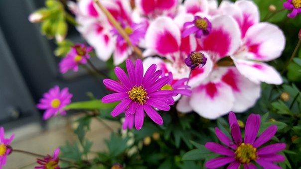 Spring, Flowers, Astar