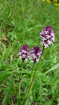 Orchis Ustulata, Brand Boys Herb, German Orchid, Rarely