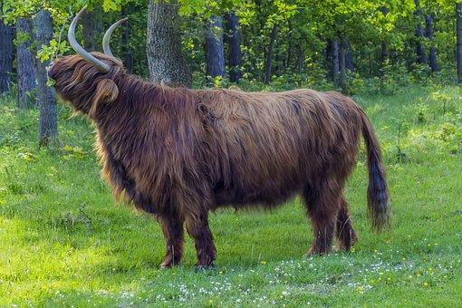 Buffalo, Beef, Wilderness, Cattle, Wild Animals