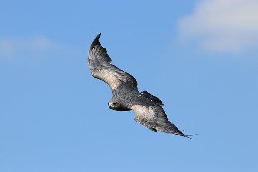 Chilean Blue Eagle, Bird, Chilean, Eagle, Flying, Wild