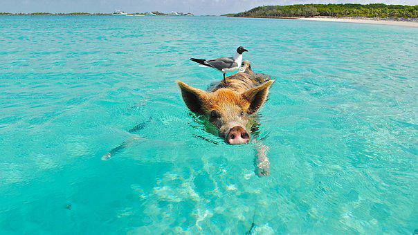 Pig, Swimming, Beach, Seagull, Bird, Turquoise, Coast