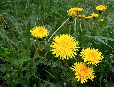 Dandelions, Flowers, Yellow, Flower, Plant