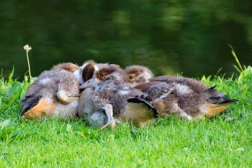 Nilgänse, Gaensekuecken, Alopochen Egypt, Goose, Bird