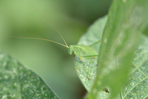 Grasshopper, Green, Cowpea On