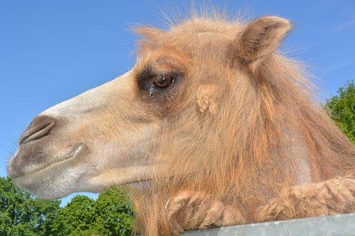 Dromeda, Camel, Zoo, Hump, Paarhufer, Beast Of Burden