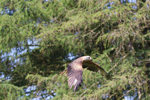 Kite, Bird, Raptor, Nature, Wildlife, Predator, Hawk