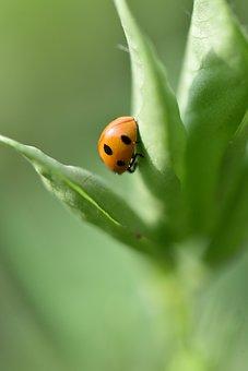Ladybug, Peanut, Peanut Pests