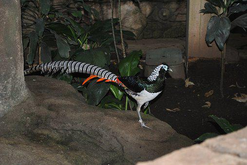 Lady Amherst Pheasant, Male, Feather, Bird, Pheasant