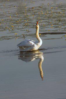 Swan, Mute Swan, Swan Song, Water Bird, Lake, Bird