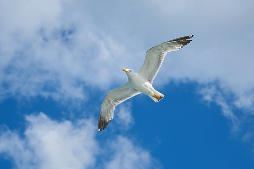 Seagull, Bird, To Migrate, Peace, Background, White