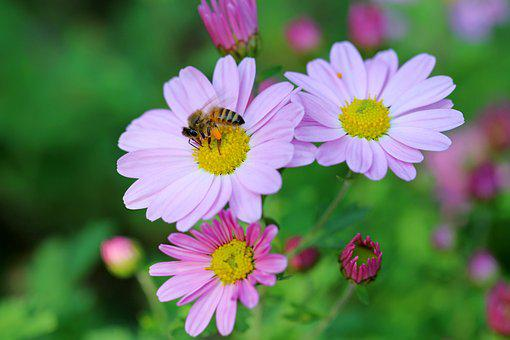 Cosmos, Bee, Flowers, Plants, Pink, Tabitha, Nature
