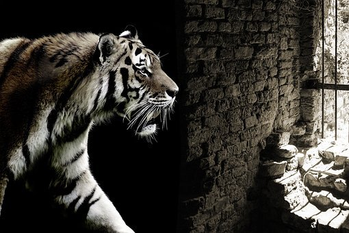 Tiger, Cat, Caught, Cage, Dungeon, Prison, Freedom