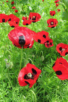 Poppies, Poppy, Red, Flowers, Rememberance, Summer