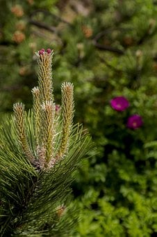 Conifer, Spring, Tap, Nature, Forest, Tree, Branch