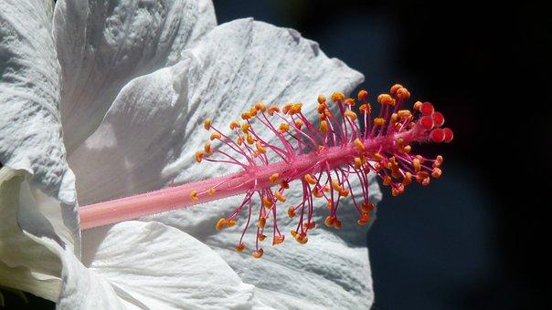 Blossom, Bloom, Pollen, White, Close, Hibiscus