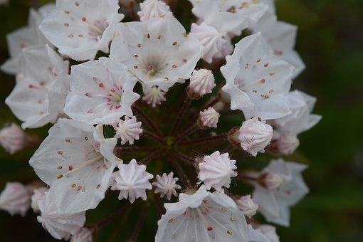 Kalmia Latifolia Elf, Flower, White, Mountain Laurel