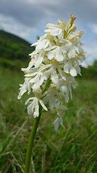 Orchis Purpurea, Albino, White Rarity, German Orchid