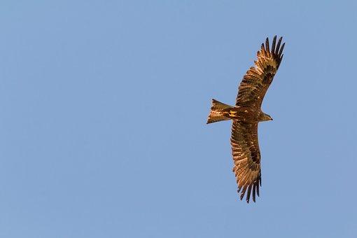 Milan, Bird Of Prey, Raptor, Wildlife Photography