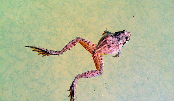 Swamp Frog, Rana Arvalis, Frog, Amphibian, Tailless