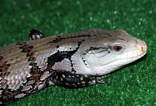 Cineasti Skink, Tiliqua, Lizard, Reptile, Animal, Scaly