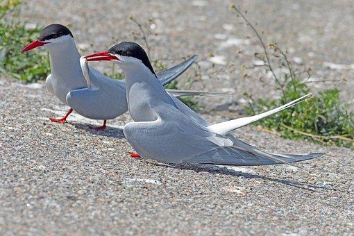 Arctic Tern, Courtship Feeding, Eider Barrage, Terns