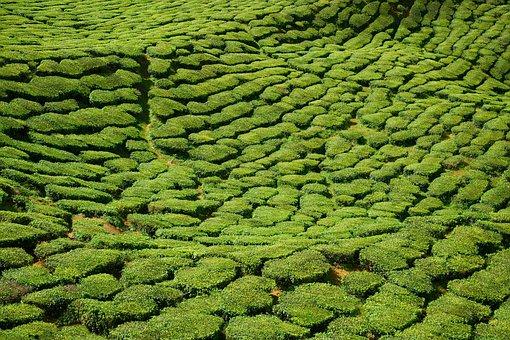 Tea, Field, Green, Beautiful, Tea Garden, Malaysia