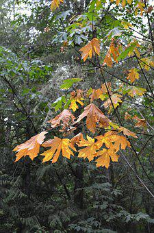 Big Leaf Maple, Tree, Maple, Autumn, Color, Nature