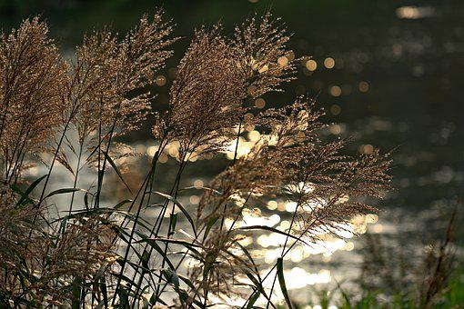 Foxtail, Reed, Riverside, Autumn, Pool, Break, Scenery