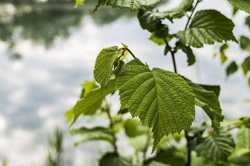 Hazelnut, Bush, Hazel, Green, Nature, Hazelnut Leaf