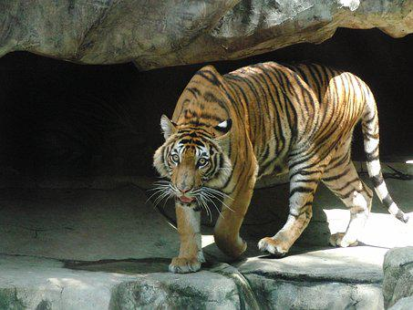 Indonesian Tiger, Predator, Dangerous Animal, Tiger