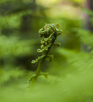 Fern, Sprouts, Young, Spring, Nature, Green, Close