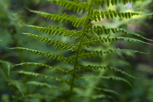 Fern, Ferns, Green, Plant, Nature, Forest, Close, Macro
