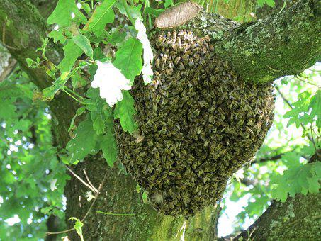 Hive, Swarm, Bees, Insect, Nature, Summer, Tree