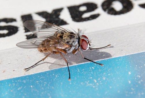 Fly, Macro, Close, Hair, Wing, Facets, Eyes