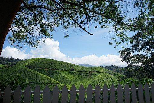 Tea, Cameron Highland, Malaysia