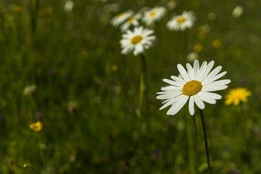 Marguerite, Bokeh, Plant, Flower, Blossom, Bloom, White