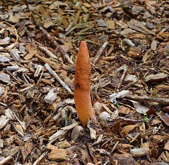 Stinkhorn Fungus Grouping, Mutinus Elegans
