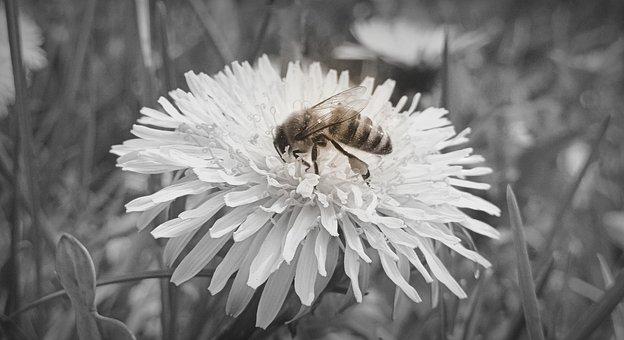 Bee, Sonchus Oleraceus, Nectar, Flower, Spring, Closeup